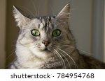 grey cat close up  portrait of... | Shutterstock . vector #784954768