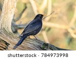 The Common Blackbird Is A...