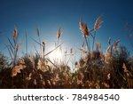 Backlit Reeds Against Blue Sky