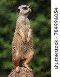 Small photo of Meerkat (Suricata suricatta), also known as the suricate.