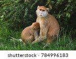 patas monkey  erythrocebus... | Shutterstock . vector #784996183