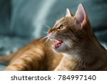 Red Haired Cat Growls Lying On...