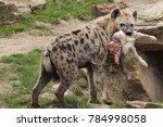 spotted hyena  crocuta crocuta  ... | Shutterstock . vector #784998058