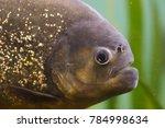 red piranha  pygocentrus... | Shutterstock . vector #784998634