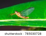 Small photo of Yellow, brown adult flat-headed mayfly (Arthropoda: Ephemeroptera: Schistonota: Heptagenoidea: Heptageniidae: Heptagenia or Thalerosphyrus or Electrogena lateralis) clear wings descend on a green leaf
