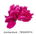 Red Peony Flower. Isolated On...