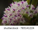 rhynchostylis  chang   gigantea ... | Shutterstock . vector #785141224