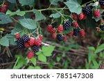 Growing Blackberries. Harvest