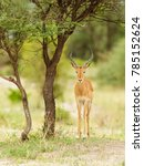 "Small photo of Closeup of Impala (scientific name: Aepyceros melampus, or ""Swala pala"" in Swaheli) image taken on Safari located in the Tarangire National park in the East African country of Tanzania"