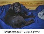 Stock photo playful puppy chocolate labrador retriever puppy 785161990