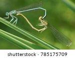 Dragonflies Mating   Mating...