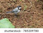 house sparrow. the house... | Shutterstock . vector #785209780