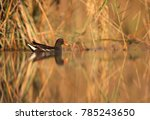 Common Moorhen In Buhair Lake