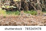 jaguar on riverbank from... | Shutterstock . vector #785265478