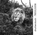 big male lion lying in the... | Shutterstock . vector #785313358