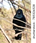 Small photo of Close up of a American Crow bird, (Corvus brachyrhynchos), perched on a branch of a bare tree, looking straight at the camera, with shallow depth of field.
