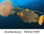Orange Lined Triggerfish Fish...