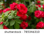 red natural roses  red flower... | Shutterstock . vector #785346310