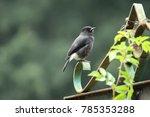 house sparrow. the house... | Shutterstock . vector #785353288