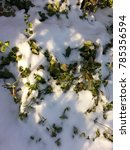 Small photo of Green Vinca vine under melting white snow