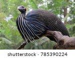 Vulturine Guineafowl Guinea In...