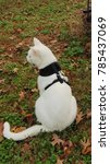 a white cat in a black harness... | Shutterstock . vector #785437069