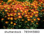 beautiful chrysanthemum flowers. | Shutterstock . vector #785445883