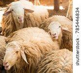 white sheeps in farmland | Shutterstock . vector #785446834