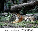 A Malayan Tiger Resting In A...