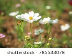 beautiful flowers cosmos in the ... | Shutterstock . vector #785533078