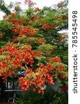 Small photo of Red flower of Royal poinciana or flamboyant tree in full bloom in Curacao