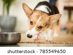 welsh corgi enjoys meal | Shutterstock . vector #785549650