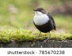 white throated dipper in... | Shutterstock . vector #785670238
