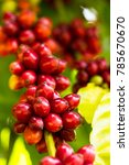 clouse up coffee tree with ripe ... | Shutterstock . vector #785670670