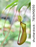 pitcher plants are several...   Shutterstock . vector #785690050