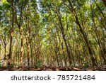 tropical rubber plantation in... | Shutterstock . vector #785721484