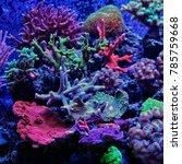 Small photo of Montipora sps coral in aquarium