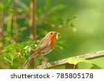 british robin  erithacus... | Shutterstock . vector #785805178