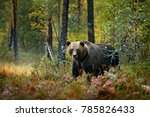 bear hidden in yellow forest.... | Shutterstock . vector #785826433