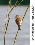 Small photo of Red-backed Shrike (Lanius collurio) in the Danube Delta