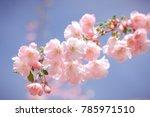 Cherry Blossom  Sakura Flowers...