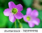 Oxalis Clover Pink And Purple...