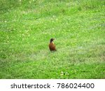 American Robin Sits Isolated In ...