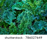 Curly Kale On Natural Organic...