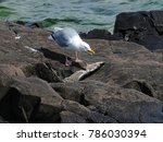 Small photo of The Pescetarian - American herring gull eating northern pike