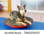 australian cattledog lies on a... | Shutterstock . vector #786035653