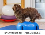 picture of a havanese who sits... | Shutterstock . vector #786035668