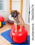 picture of a leonberger who... | Shutterstock . vector #786035674