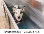 picture of an australian... | Shutterstock . vector #786035716