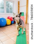 australian cattledog sits on a... | Shutterstock . vector #786035854